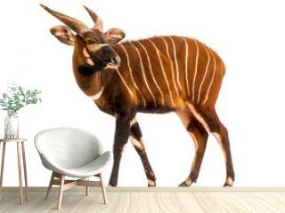 Bongo, antelope, Tragelaphus eurycerus standing, isolated