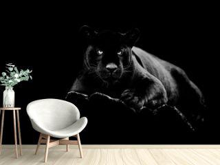 Black jaguar with a black background