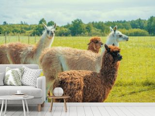 Cute alpacas and lamas at the farm on the green grass in summer sunny day