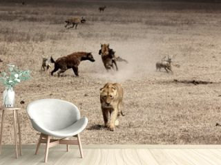 Beautiful shot of a lion walking with hyenas fighting in the background