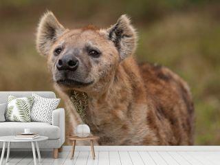 Nieuwsgierige hyena