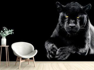 Jaguar with a black background