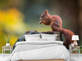 Cute Red squirrel in the natural evironment, wildlife, close up, silhouete, Sciurus vulgaris