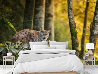 Eurasian lynx in the natural environment, close up, Lynx lynx
