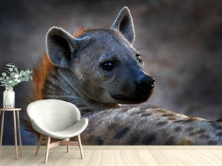 Hyena, detail portrait. Spotted hyena, Crocuta crocuta, angry animal near the water hole, beautiful evening sunset. Animal behaviour from nature, wildlife in Etosha, Namibia, Africa. Hyena in savannah
