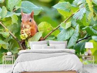 Red Squirrel (Sciurus vulgaris) Collecting Hazelnuts