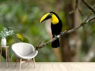 Choco toucan (Ramphastos brevis) is a near-passerine bird in the family Ramphastidae found in humid lowland and foothill forests on the Pacific slope of Colombia and Ecuador.