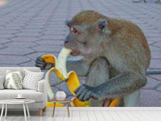 Gray monkey near Batu caves, eating banana, Kuala Lumpur, Malaysia