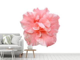 pink azalea flower isolated on white