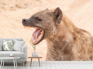Hyena laughing at a funny joke