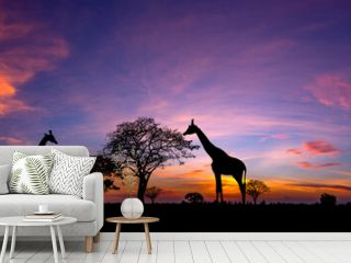 Panorama silhouette Giraffe family and  tree in africa with sunset.Tree silhouetted against a setting sun.Typical african sunset with acacia trees in Masai Mara, Kenya