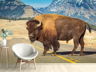 American bison standing alone in the middle of the road at Yellowstone park with mountain  in backgorund.