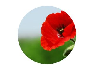 Single poppy in Normandy