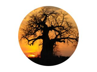 Baobab im Sonnenuntergang, Ruaha N.P.