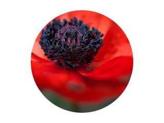 Poppy Macro