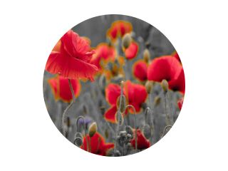 panorama of poppies and wild flowers, selective color, red and black