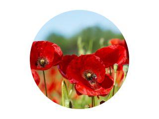 red poppy flowers in a field