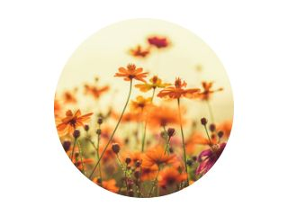 Cosmos colorful flower in the field during sunset in spring season. Photo toned style Instagram filters. Nature background