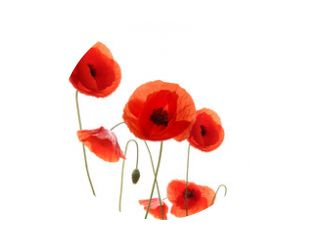 Isolated blooming poppy flowers on white background