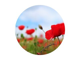 Poppies on sky background.