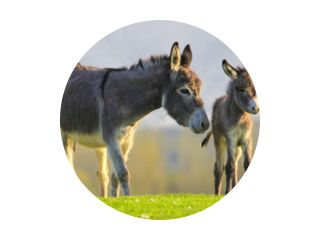 Cute baby donkey and mother on floral meadow