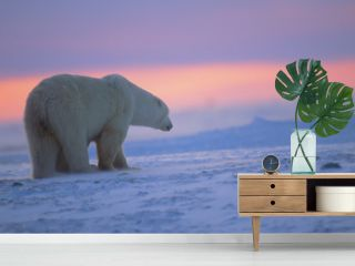 Polar bear at sunset. Canadian Arctic.
