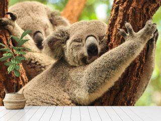 Sleeping koalas