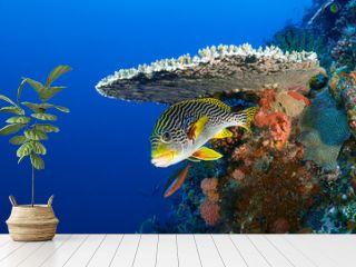 Sweetlips fish, Plectorhinchus orientalis