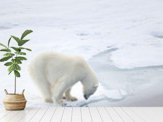 Polar bear waiting for seals