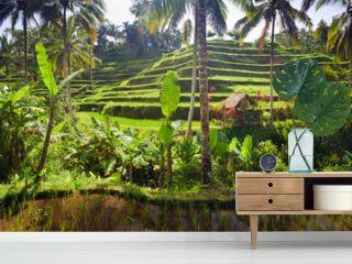 Terrace rice fields, Ubud, Bali, Indonesia