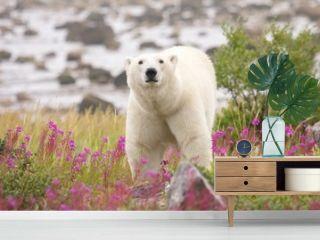Polar Bear and Fireweed 1