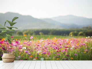 Cosmos flower fields
