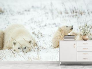 Polar she-bear with cubs. A Polar she-bear with two small bear cubs on the snow.
