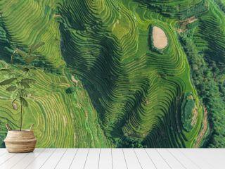Top view or aerial shot of fresh green and yellow  rice fields.Longsheng or Longji Rice Terrace in Ping An Village, Longsheng County, China.