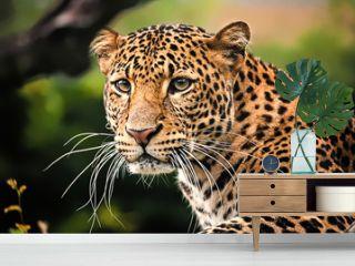 Javan leopard close up