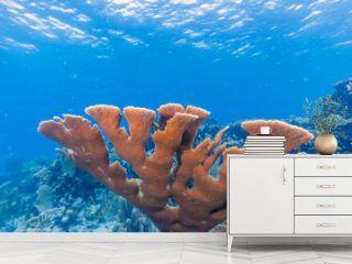 Elkhardn coral Caribbean coral reef