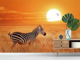 African lonely zebra at sunset in the Serengeti National Park. Tanzania. Wild nature of Africa.