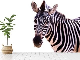 Close up of a zebra on a white background
