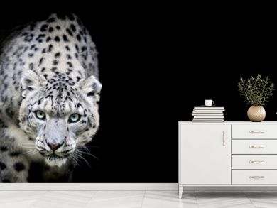 Snow leopard with a black background