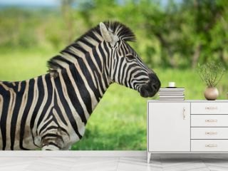 Zebra standing alert in the shade during a hot spell