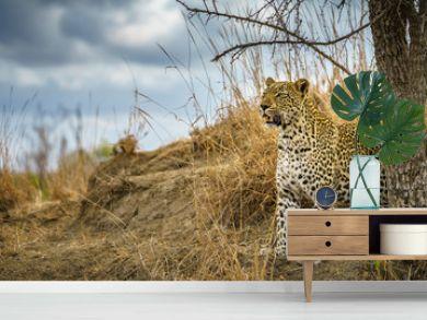 leopard in kruger national park, mpumalanga, south africa 162