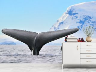 A Humpback Whale takes a dive while tourists film the event - Antarctica