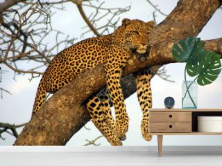 lazy lounging leopard