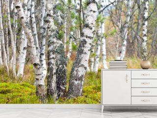 Natural background - a autumn birchwood