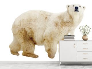 polar bear. Isolated over white