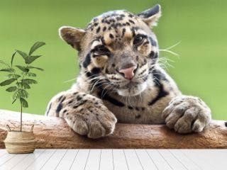 A Clouded leopard