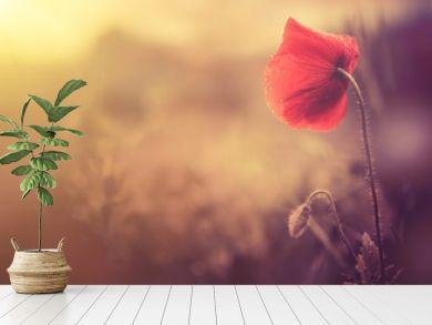 wild poppy flower
