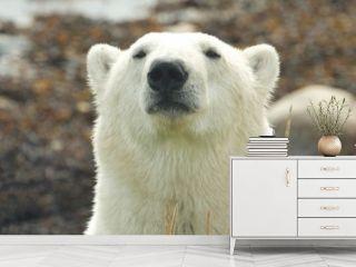Polar Bear Portrait 3