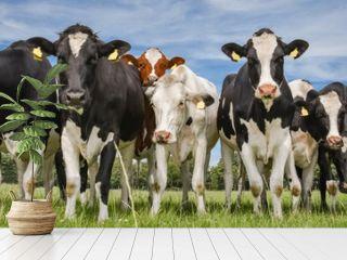 Herde norddeutscher Milchkühe auf der Weide, Banner