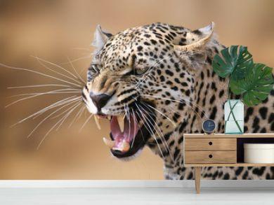 Snarling leopard portrait